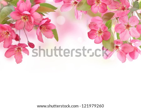 Apple flowers,Spring blossom on white with copy space. - stock photo