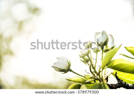 apple flowers. spring flowers. Soft image of a blossoming tree