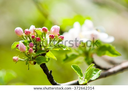 apple flowers, The flowers of fruit trees. Spring. Soft image of a blossoming tree. apple blossoms in spring on white background. Blooming apple tree; beautiful white blossoms, shallow field - stock photo