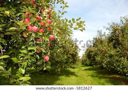Apple Garden Stock Photo (Royalty Free) 5812627 - Shutterstock