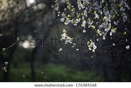 apple garden in spring time - stock photo