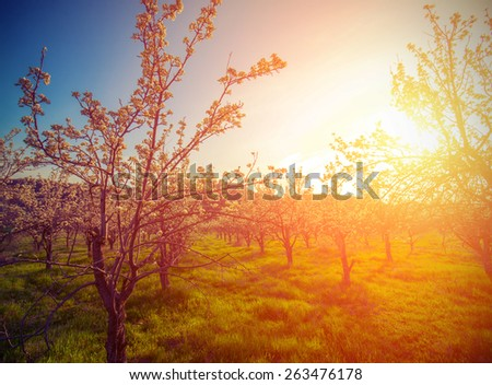 apple garden with flowers in the spring at sunset. Vintage style