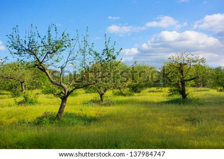Apple garden with green grass on a background of blue sky