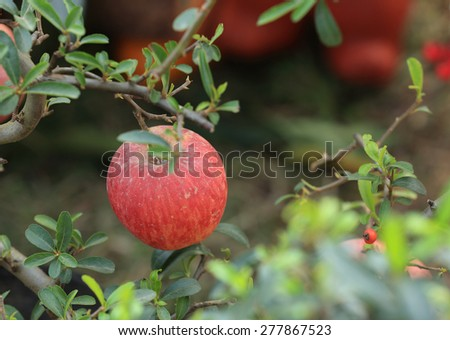 apple grow on tree