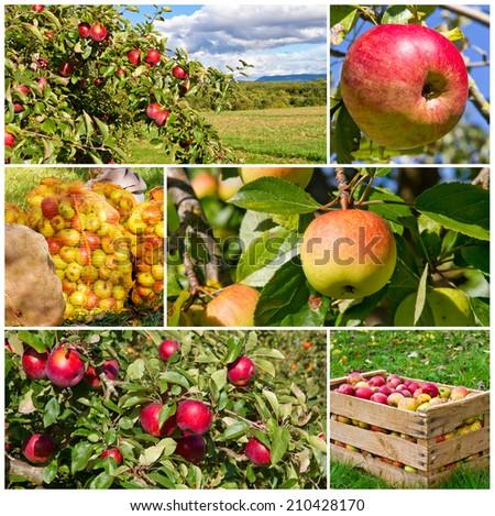 Apple harvest in autumn - stock photo