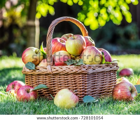 green and red apples in basket. apple harvest. ripe red apples in the basket on green grass. autumn garden and