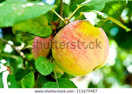 apple on a tree branch