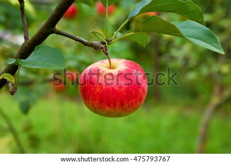 Apple on branch, in garden