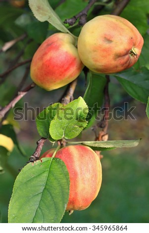 Apple on the tree  in plantation and green leaves