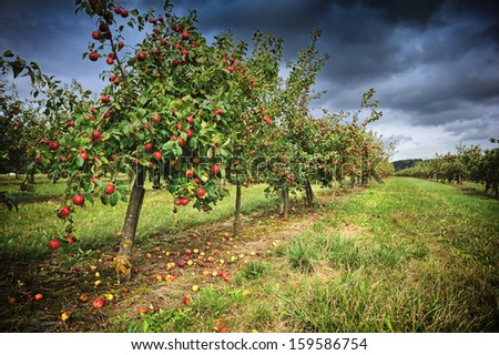 Apple orchard at cloudy autumn day  - stock photo