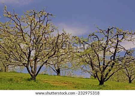 Apple orchard in bloom against a clear blue sky.