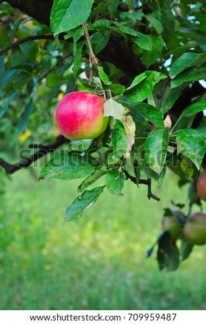 Apple orchard in the countryside, organic products, summertime autumn season
