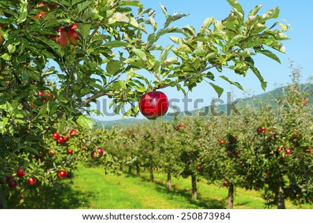 apple orchard, ripe fruits hanging on branch - stock photo