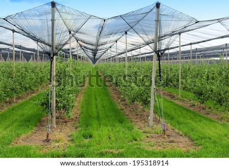 apple orchard with nets to protect against hail and birds - stock photo