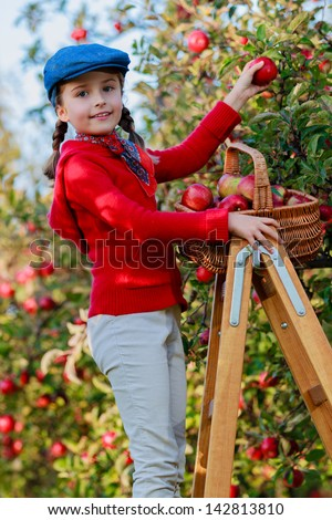 Apple orchard - Young girl picking red apples into the basket. - stock photo