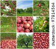 Apple orchards in summer and freshly picked red apples. - stock photo