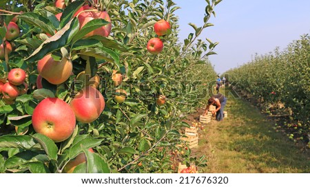 Apple picking in orchard - stock photo
