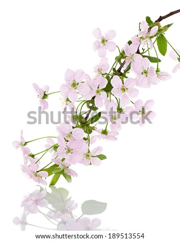 apple pink flowers branch on a white background