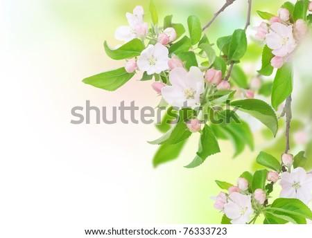 Apple Spring Flowers. Blossom Design - stock photo