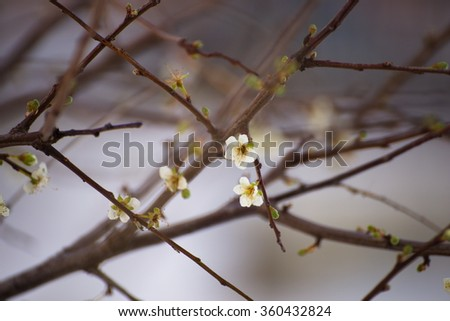 Apple tree blooms in winter - stock photo
