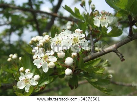 Apple Tree Blossom - stock photo