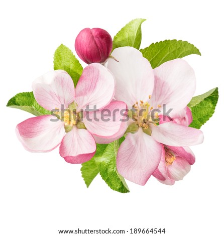 apple tree blossoms with green leaves isolated on white background. spring flowers - stock photo