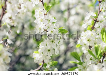 Apple tree branch with flowers close up - stock photo