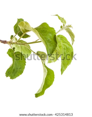 apple-tree branch with green leaves. Isolated on white background