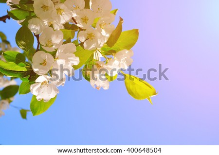 Apple tree branch with white blooming flowers under bright sunshine. Spring closeup natural background with copy space. Soft focus processing.  - stock photo