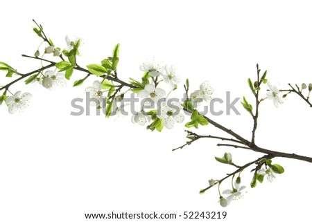 Apple-tree flowers. Design elements isolated on white.