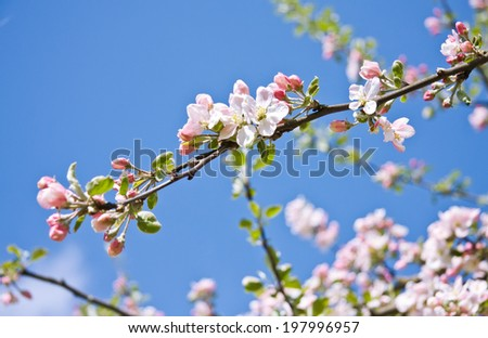 Apple tree flowers in spring orchard