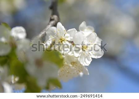 apple tree flowers In the beginning of spring season - stock photo