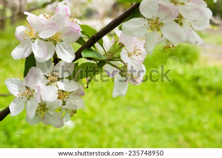 Apple tree flowers on sunny spring day. - stock photo
