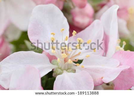 Apple tree flowers, spring blossoms  - stock photo
