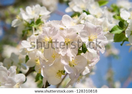 apple tree in bloom - stock photo