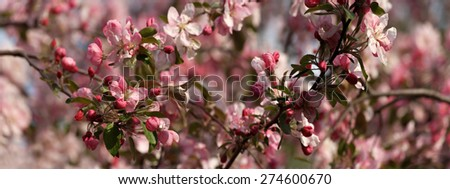 Apple tree in blossom panorama - stock photo