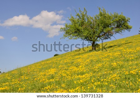 Apple tree in green and yellow mountain meadow during sunny summer day against blue sky with some white clouds - stock photo