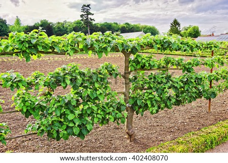 Apple Tree in Organic kitchen garden of Audley End House in Essex in England. It is a medieval county house. Now it is under protection of the English Heritage. - stock photo