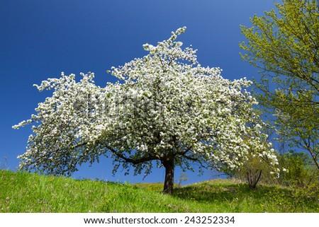 Apple tree in spring - stock photo