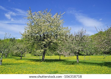 Apple tree in spring with white blossoms.