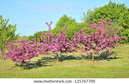 Apple tree in the spring - stock photo