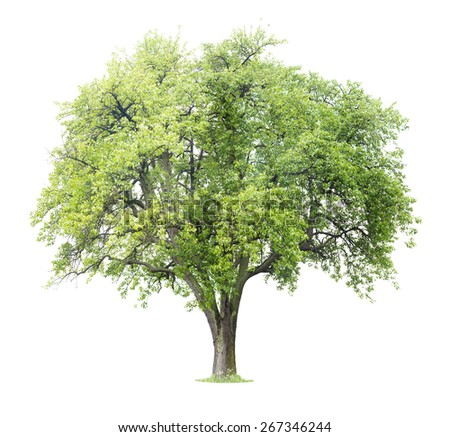Apple Tree isolated on a white background - stock photo