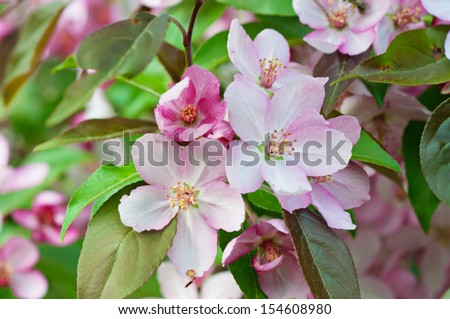 Apple tree pink flower blossoming at spring time, floral background - stock photo