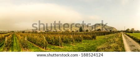 Apple tree plantation - stock photo