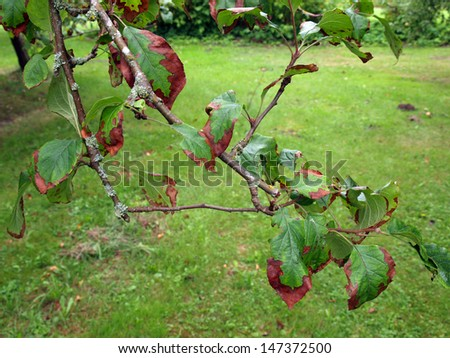 Apple Tree Disease Stock Images, Royalty-Free Images ...