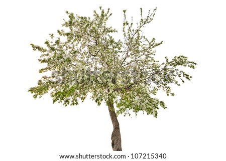 apple tree with flowers isolated on white background - stock photo