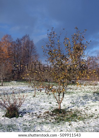 Apple tree with last apples on branches and first snow on ground.
