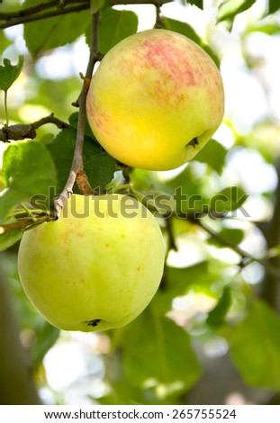 Apple tree with ripe fruits - stock photo