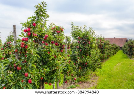 Apple trees in an orchard with ripe apples ready for harvest. Lindau, Germany - stock photo
