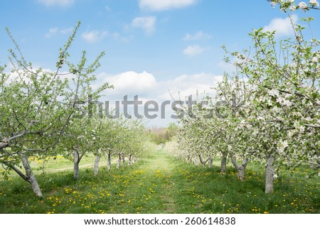 Apple trees in Spring loaded with apple blossoms.